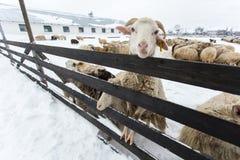 绵羊牧群在一个农场的在一个冬日 免版税库存照片