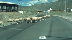 绵羊牧群在山村穿过路 股票视频