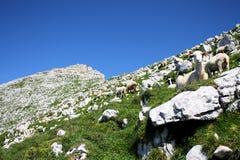 绵羊牧群在山的 免版税库存照片