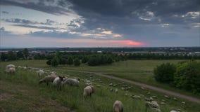 绵羊牧群在汉诺威的郊区的晚上吃草 下萨克森州 德国 时间间隔 股票录像