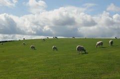 绵羊牧群在草原哺养 免版税图库摄影