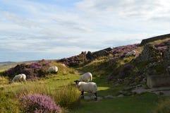 绵羊牧群在高峰区英国 库存照片
