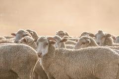 绵羊牧群在Clarens 免版税库存图片