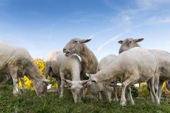 绵羊牧群浏览并且吃与b的新鲜的草 免版税库存图片