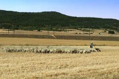 绵羊牧群  免版税库存图片