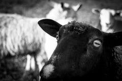 绵羊特写镜头佛蒙特农场 免版税库存照片
