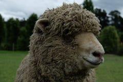 绵羊特写镜头在新西兰 免版税库存照片