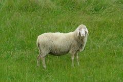 绵羊白色 库存照片