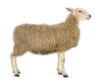 绵羊的侧视图 库存图片