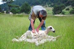 绵羊的毛皮的剪切 免版税库存照片