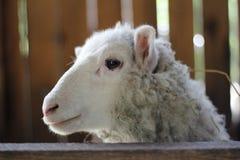 绵羊的纵向 免版税库存图片