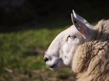 绵羊端 免版税库存照片