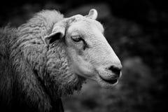 绵羊纵向 免版税库存照片