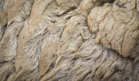绵羊羊毛纹理 免版税库存图片