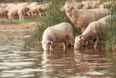 绵羊群在一个水坑的 在的绵羊饮用水 库存照片