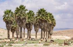 绵羊群在一片沙漠绿洲的在阿拉德以色列附近 免版税库存照片
