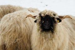 绵羊群在农场的冬天 在雪的绵羊 库存照片