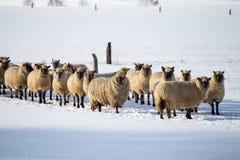 绵羊群在冬天 免版税库存图片
