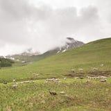 绵羊群在山草甸的在法国 免版税库存图片