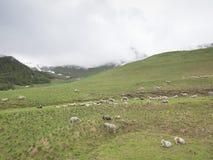 绵羊群在山草甸的在法国 库存照片