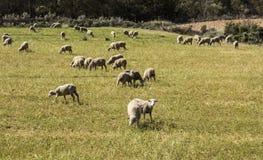 绵羊群在草甸 图库摄影