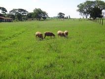 绵羊群在领域的 库存图片