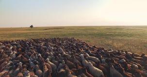 绵羊群电影空中寄生虫视图在乌克兰大草原干草原的 股票录像