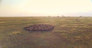 绵羊群电影轨道的射击在乌克兰干草原的 股票视频