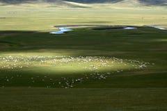 绵羊群  库存图片