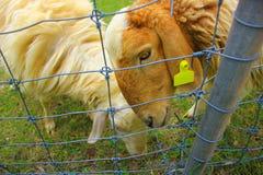 绵羊褐色,绵羊农场 免版税库存图片