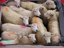 绵羊跟踪 库存图片