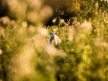 绵羊通过在绿叶,德贝郡,英国的空白 免版税库存图片