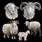 绵羊集合传染媒介 向量例证