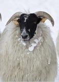 绵羊雪 免版税库存照片