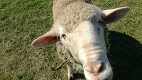 绵羊面孔 免版税库存照片