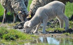 绵羊饮用水牧群  免版税图库摄影