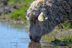 绵羊饮用水 库存照片