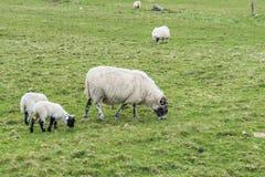 绵羊,农厂羊羔 免版税库存照片