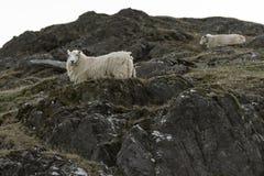 绵羊,吃草在一个岩石山腰,在活力谷,中间威尔士 免版税图库摄影