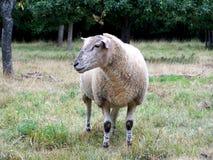 绵羊,在一个领域的一只绵羊在夏天 库存图片