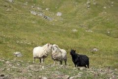 绵羊,法罗群岛,丹麦群  库存照片