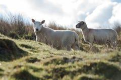 绵羊,羊羔, Ram,羊属白羊星座 库存照片