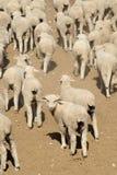 绵羊,西方得克萨斯,美国群  库存照片