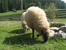绵羊 影视素材