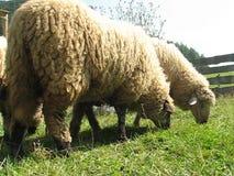 绵羊 股票视频