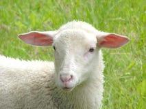 绵羊 库存照片