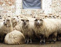绵羊 免版税库存照片