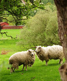 绵羊 库存图片
