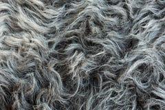 绵羊` s羊毛 库存图片