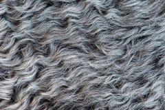 绵羊` s羊毛 免版税图库摄影